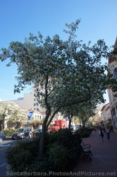 Tree with White Flowers on State St in Santa Barbara.jpg